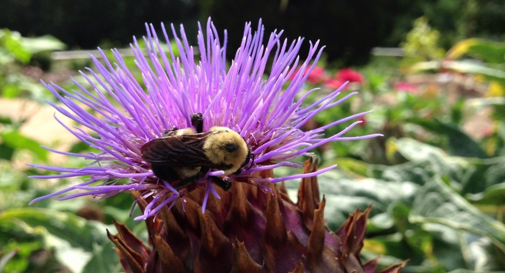Bumble Bee at Duke University Brody Discovery Garden